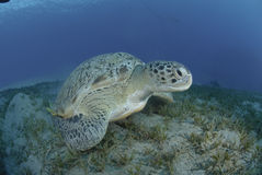 Green Turtle On A Bed Of Seagrass. Stock Photo