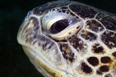 Green turtle portrait in the Red Sea. Royalty Free Stock Images