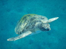 A green turtle is in the Red sea Royalty Free Stock Images
