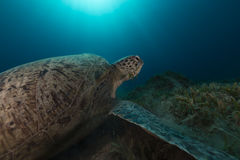 Green turtle in the Red Sea. Royalty Free Stock Photography