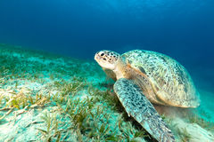 Green turtle in the Red Sea. Royalty Free Stock Photo