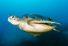 Green Turtle with remora attached swimming above seagrass. A green turtle swims above a cloud of silt on a dark afternoon royalty free stock images