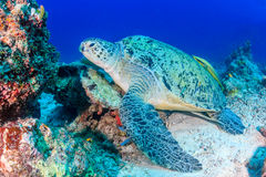 Green turtle with remora on a reef. Green Turtle with Remora on a tropical coral reef royalty free stock image