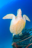 Green Turtle with Remora swimming. A Green Turtle with 2 Remora swims away from a small underwater wreck stock images