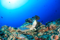 Green Turtle with Remora on a tropical coral reef Royalty Free Stock Image