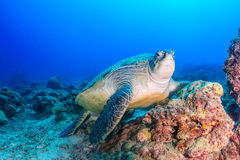 Green turtle resting on a damaged coral reef royalty free stock photo