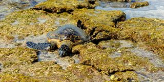 Green Turtle Resting On The Lava Rocks Royalty Free Stock Images