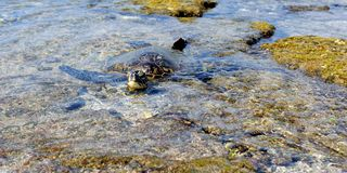 Green Turtle Resting On The Lava Rocks Stock Photo