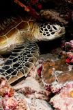 Green turtle resting in the reef Royalty Free Stock Photography