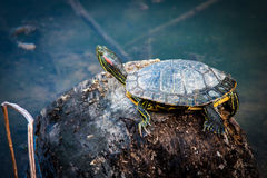Green Turtle on Rock in Pond Stock Photography