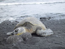 Green turtle on rocks. Green turtle black sand beach Hawaii tropical ocean palm-tree Stock Images