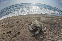 Green Turtle on sandy beach in Hawaii Royalty Free Stock Photography