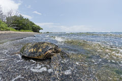 Green Turtle on sandy beach in Hawaii Stock Photos