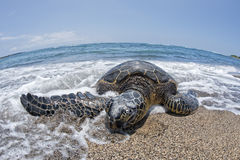 Green Turtle on sandy beach in Hawaii Royalty Free Stock Photo