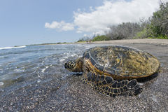 Green Turtle on sandy beach in Hawaii Stock Image
