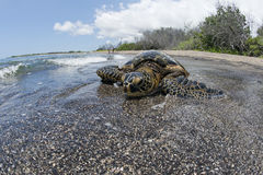 Green Turtle on sandy beach in Hawaii Stock Photography