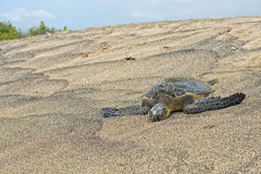 Green Turtle on sandy beach in Hawaii Royalty Free Stock Image