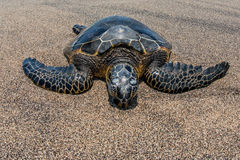 Green Turtle on sandy beach in Hawaii Royalty Free Stock Images