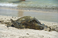 Green Turtle on sandy beach Stock Photography
