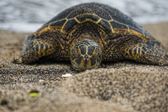 Green Turtle on sandy beach Royalty Free Stock Photography