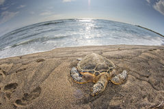 Green Turtle on sandy beach Royalty Free Stock Image