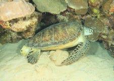 Green turtle on sandy bottom stock image