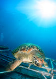 Green Turtle sat on an artificial reef. Green Turtle sat on a new artificial reef with a tropical sunburst behind royalty free stock photography