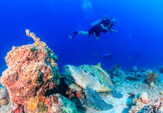 Green Turtle with SCUBA diver Stock Photo