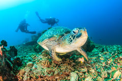 Green Turtle and SCUBA divers Royalty Free Stock Image
