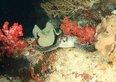 Green turtle. Green sea turtle (chelonia mydas) lying under red soft coral - Raja Ampat, Papua Barat, Indonesia Stock Photos