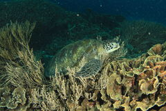Green turtle royalty free stock images