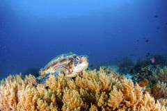 Green Turtle. Green Sea Turtle on the sea bed amongst the coral stock photos