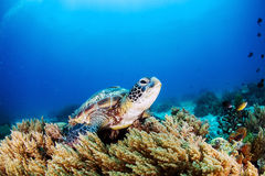 Green Turtle. Green Sea Turtle on the sea bed amongst the coral royalty free stock photo