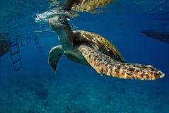 Green turtle at sea surface, Similan Royalty Free Stock Photography