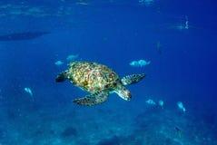 Green turtle at sea surface, Similan Royalty Free Stock Photos