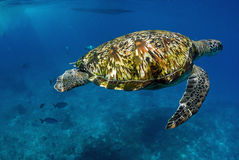 Green turtle at sea surface, Similan Stock Photo