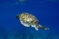 Green turtle at sea surface, Similan Stock Image