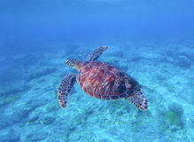 Green turtle in sea water with seabottom background. Underwater photography of wild oceanic animal. Stock Images