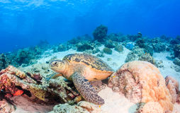 Green turtle on the seabed Royalty Free Stock Photography