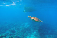 Green turtle in seawater above coral reef. Marine animal in wild nature Stock Photos