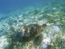 Green turtle in shallow sea bottom. Tropical seashore underwater photo. Marine tortoise undersea. Sea turtle in natural environment. Green turtle swims Stock Images