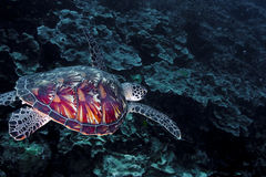 Green turtle with shell detail. Green turtle (Chelonia mydas) swimming over a coral reef, with shell detail standing out. Taken in the Wakatobi, Indonesia Royalty Free Stock Photography