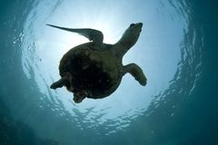 Green Turtle Silhouette. Silhouette of a green sea turtle shot from below Royalty Free Stock Images