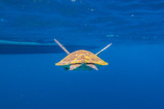 Green turtle at Similan. Back of green turtle, Chelonia mydas, swimming in blue water at the Similan Islands in Thailand, Andaman Sea Stock Images