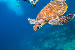 Green turtle at Similan. Green turtle, Chelonia mydas, swimming in blue water. On backgroung people snorkeling at Similan Islands in Thailand, Andaman Sea Royalty Free Stock Images