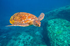 Green turtle at Similan. Green turtle, Chelonia mydas, swimming in blue water at the Similan Islands in Thailand, Andaman Sea Stock Photo