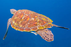 Green turtle at Similan. Close up of green turtle, Chelonia mydas, swimming in blue water. Similan Islands, Thailand, Andaman Sea Stock Photography
