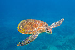 Green turtle at Similan. Close up of green turtle, Chelonia mydas, swimming in blue water. Similan Islands, Thailand, Andaman Sea Royalty Free Stock Images