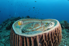 Green turtle sitting in barrel sponge. A green turtle resting in barrel sponge with tropical reef in the background stock photos