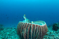 Green turtle sitting in a barrel sponge. A green turtle sticking its head out of a huge barrel sponge royalty free stock photos